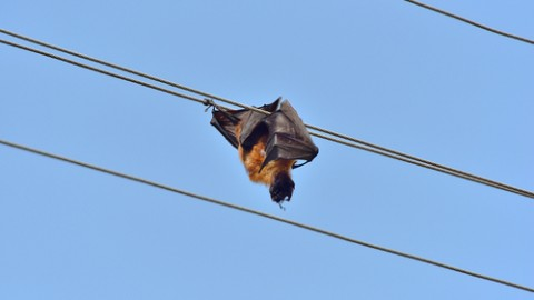 Fruit bat friendly powerline upgrades