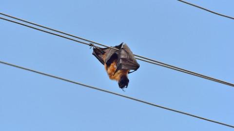 Fruit bat friendly powerline upgrades